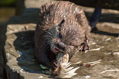 Otter. Eating a chicken on lunch Royalty Free Stock Photos