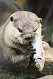 Otter eating a fish Stock Photos
