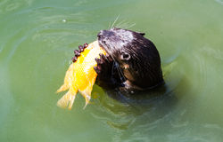 Otter eating fish Stock Photography