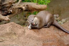 Otter eating a fish stock images