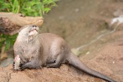 Otter eating a fish stock photography