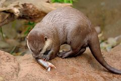 Otter eating a fish stock photo