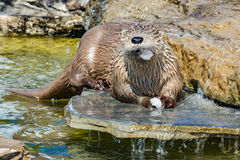 Otter eating fish royalty free stock photography