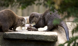 Otter eating fish Stock Photo
