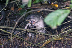 Otter eating fish in Tortuguero royalty free stock image
