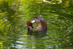 Otter eating fish Royalty Free Stock Photo