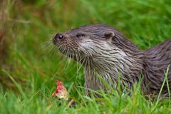 Otter Eating Prey Royalty Free Stock Image