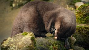Otter Eating On Rocks By River stock video footage