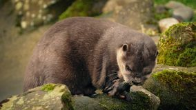 Otter Eating On Rocks By River stock video