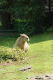 The otter eats hay Royalty Free Stock Photos