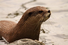 Otter Emerging From Water Stock Photo