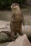 Otter Erect. An Otter stood erect in the warm summer evening royalty free stock photography