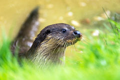 Otter. European Otter against a background of green foliage and water royalty free stock photos