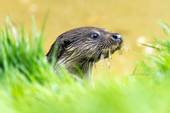 Otter. European Otter against a background of green foliage and water royalty free stock images