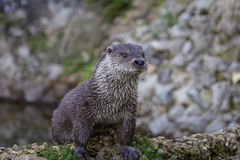 Otter. European Otter close up position royalty free stock photography