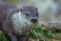 Otter. European Otter showing its tongue royalty free stock images