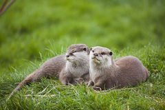 Otter-Familie Lizenzfreie Stockfotos