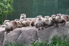 Otter family. A family group of otters rest on a rock royalty free stock photography