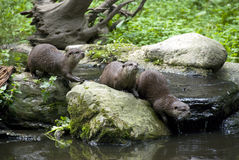 Otter family. A family group of otters on a rock Stock Photo