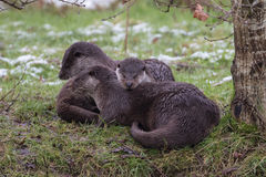Otter Family on Bank. In Winter. Light Snow. Royalty Free Stock Photo
