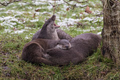 Otter Family on Bank. In Winter. Light Snow. Royalty Free Stock Image