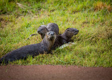 Otter family in the wild enviornment. Wet after swimming royalty free stock photography