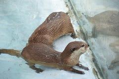 Otter, Fauna, Mammal, Mustelidae stock photography