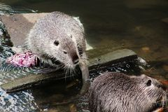 Otter, Fauna, Mammal, Mustelidae royalty free stock images