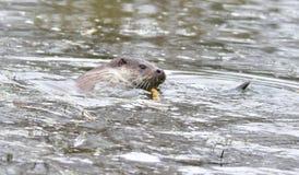 Otter. Feeding on River Bank Surrey UK England royalty free stock photography