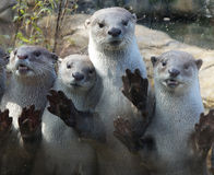 Otter feeding time. A family of Asian Short-clawed otters wait behind glass for some food royalty free stock photography