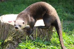 Otter. An otter fiercely growls while standing on a tree stump Stock Photography