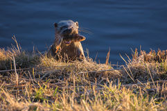 OTTER WITH FISH HUNTED. Otter on the bank of the hunted fish royalty free stock image