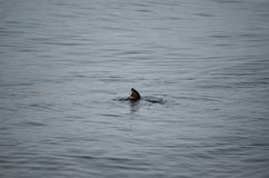 Otter in fjord Royalty Free Stock Photos