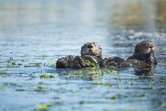 Otter-Freunde Stockbild
