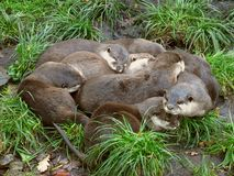 Otter friends Royalty Free Stock Photography