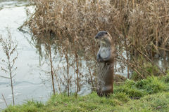 Otter by Frozen Pond Royalty Free Stock Photography