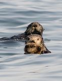 Otter get in a row. A sea otter pup, mother, and father line up in a row to look at the camera Stock Images