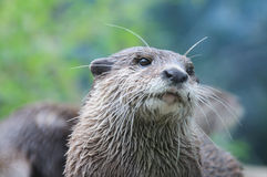 Otter glance Stock Images