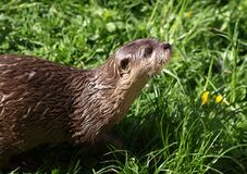 Otter on grass Stock Image