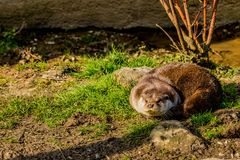 Otter on the grass sunbathing royalty free stock images