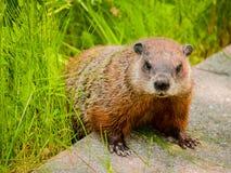 Otter On Green stock image