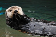Otter greeting Royalty Free Stock Photo