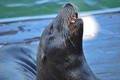 Otter-Haltung Lizenzfreies Stockbild