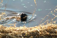An otter harvesting grass. Off a river bank on a sunny spring day in Coquitlam, British Columbia Royalty Free Stock Image