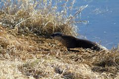 An otter harvesting grass. Off a river bank on a sunny spring day in Coquitlam, British Columbia Stock Image