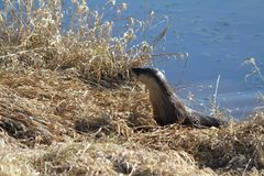 An otter harvesting grass. On a riverbank in Coquitlam British Columbia on a sunny spring day Stock Images