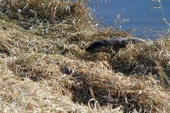 An otter harvesting grass. On a riverbank in Coquitlam British Columbia on a sunny spring day Royalty Free Stock Images