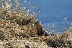 An otter harvesting grass. On a riverbank in Coquitlam British Columbia on a sunny spring day Stock Photo