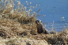 An otter harvesting grass. On a riverbank in Coquitlam British Columbia on a sunny spring day Stock Photos