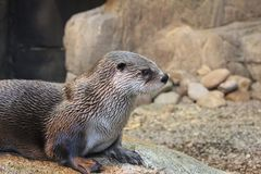 Visit of the Biodome of Montreal - River Otter royalty free stock photos